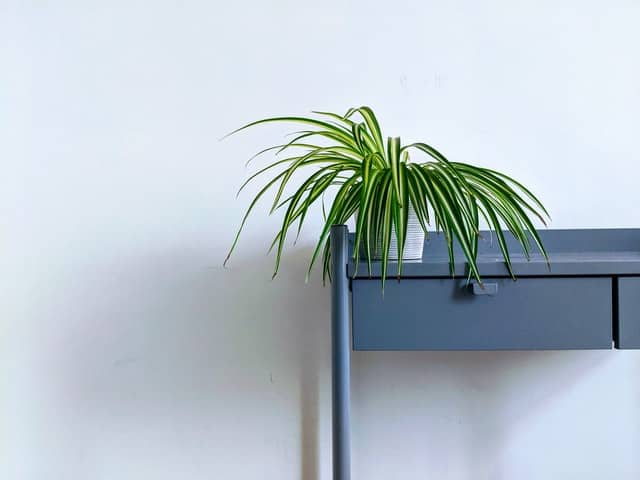 Small spider plant in a white pot, sitting on top of a blue desk shelf