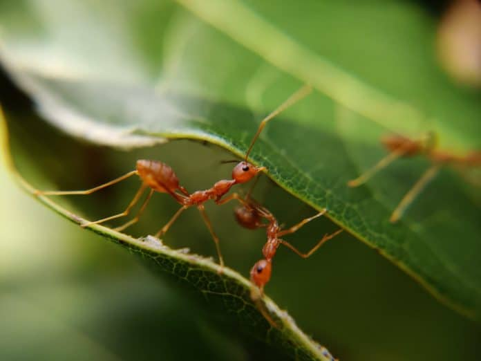 Two ants between two leaves, both chewing on the leaves