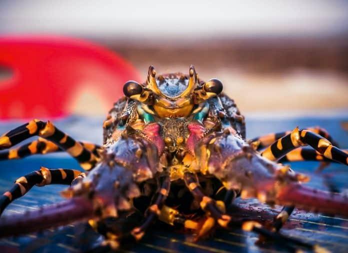 Lobster staring at camera