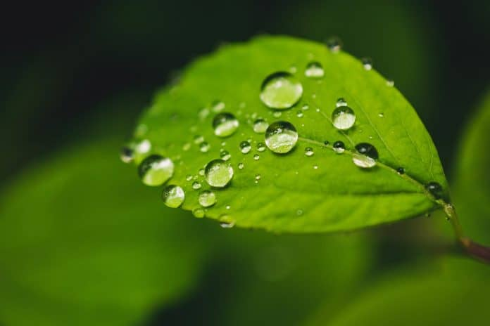 green, semi-round leaf with water droplets above other leaves