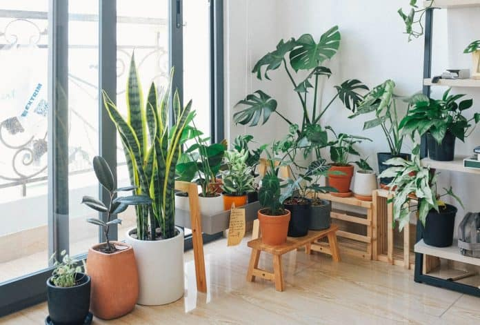 Apartment corner near a large window. A large variety of house plants in pots are sitting on the floor and on some wooden benches.