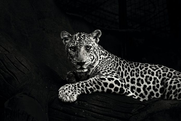 Black and white photo of leopard laying down