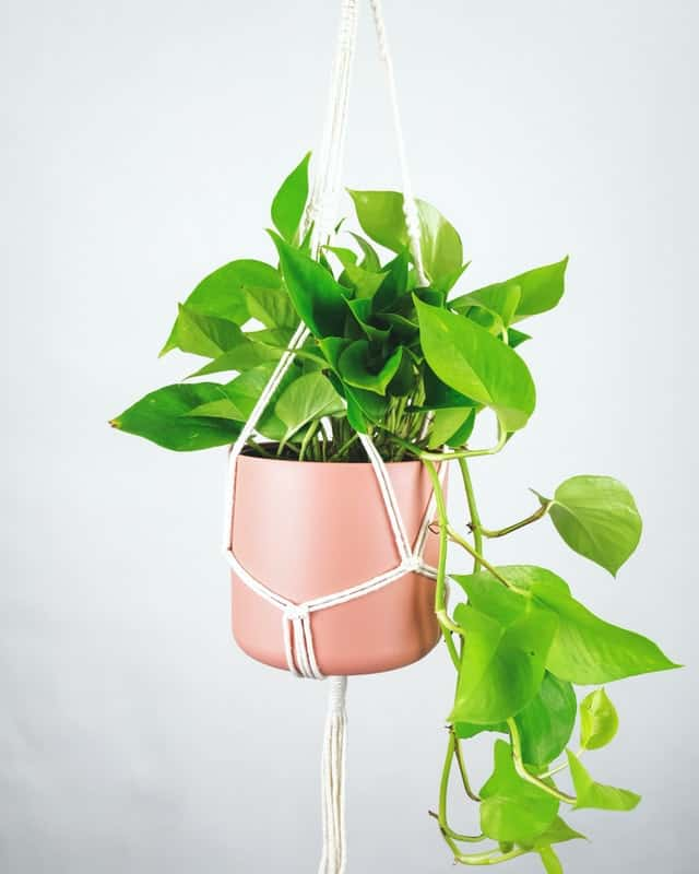 Pink plant pot hanging in a macrame rope hanger. Bright green pothos plant growing out and hanging down.