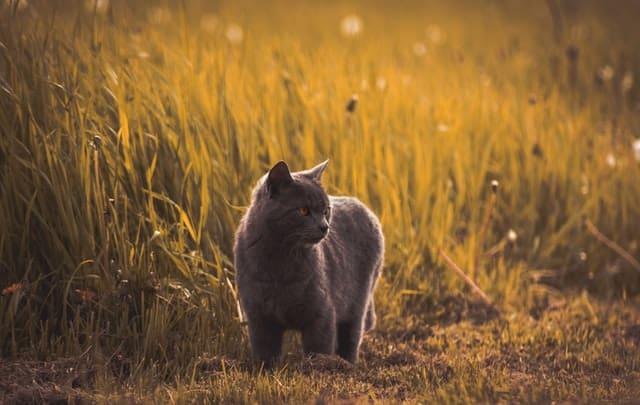 Cat prowling through grass at sunset